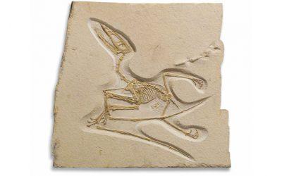 Germanodactylus Cristatus Pterosaur