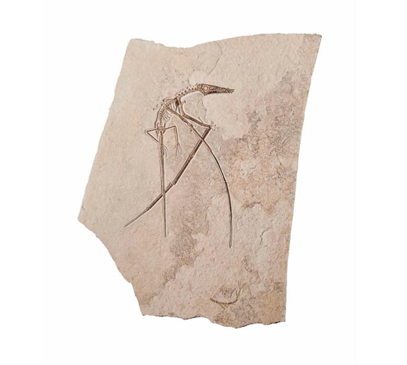 Rhamphorhyncus Muensteri Pterosaur