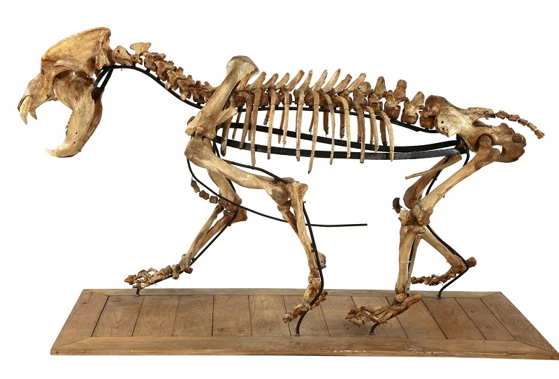 The complete skeleton of an Ice Age cave bear