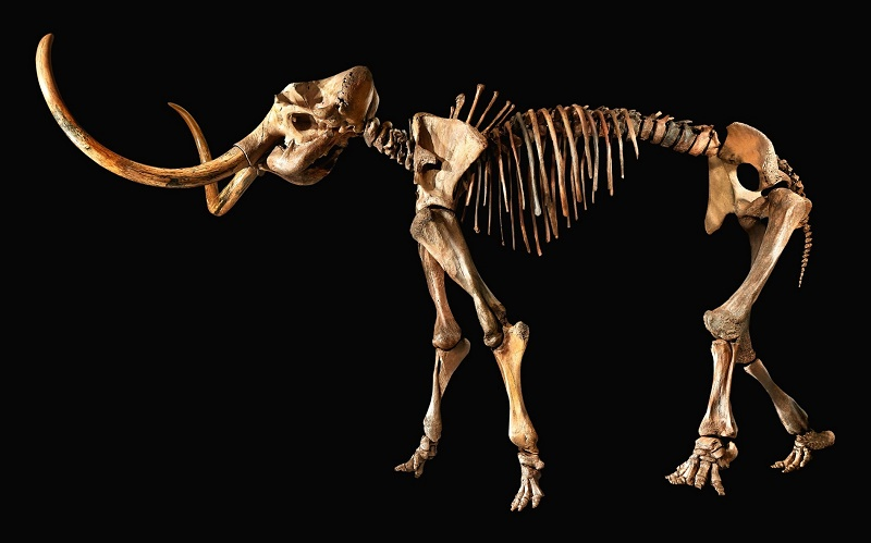 12,000-year-old Woolly Mammoth skeleton for sale at Sotheby's