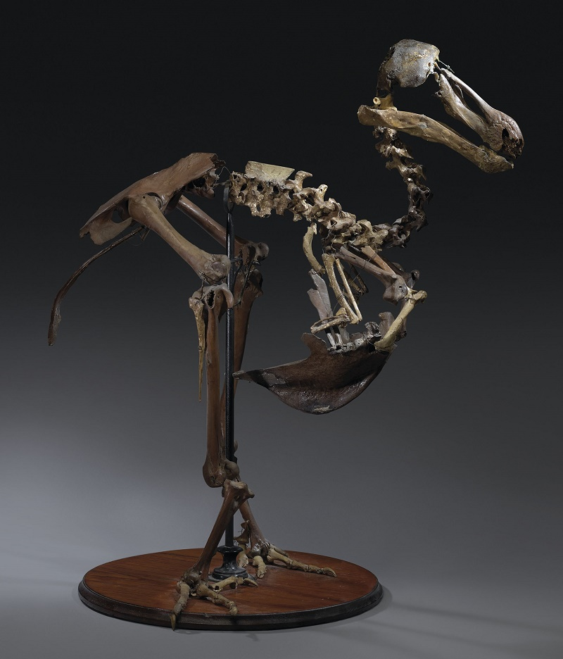 The Christie's specimen is the only-known 19th century Dodo skeleton left in private hands