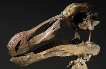 Dodo skeleton to auction at Christie's